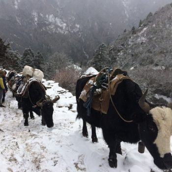 a photo of cattle on a mountainside in Nepal